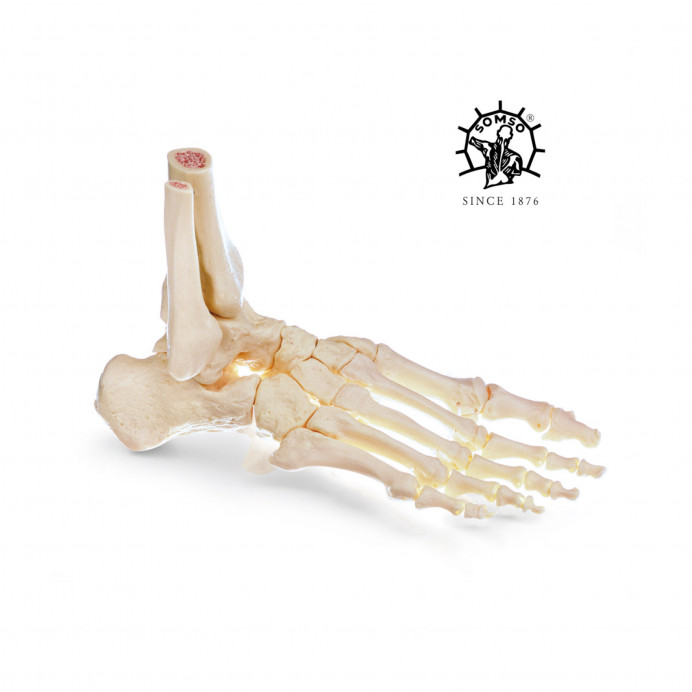 Pie esqueleto SOMSO
