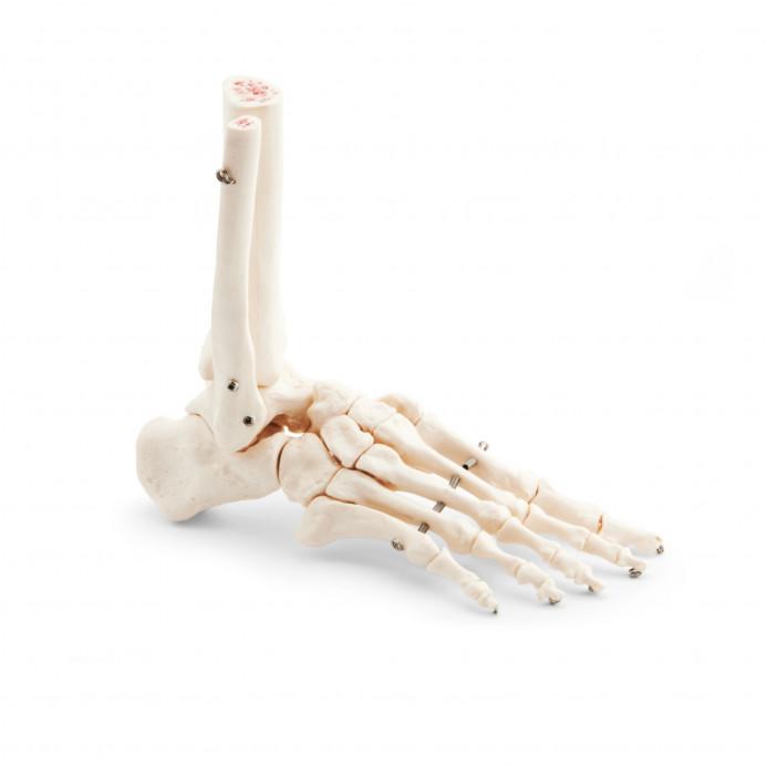 Esqueleto del pie